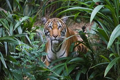 オリエント・エクスプレス、トラの保護活動でチャリティーツアーを実施