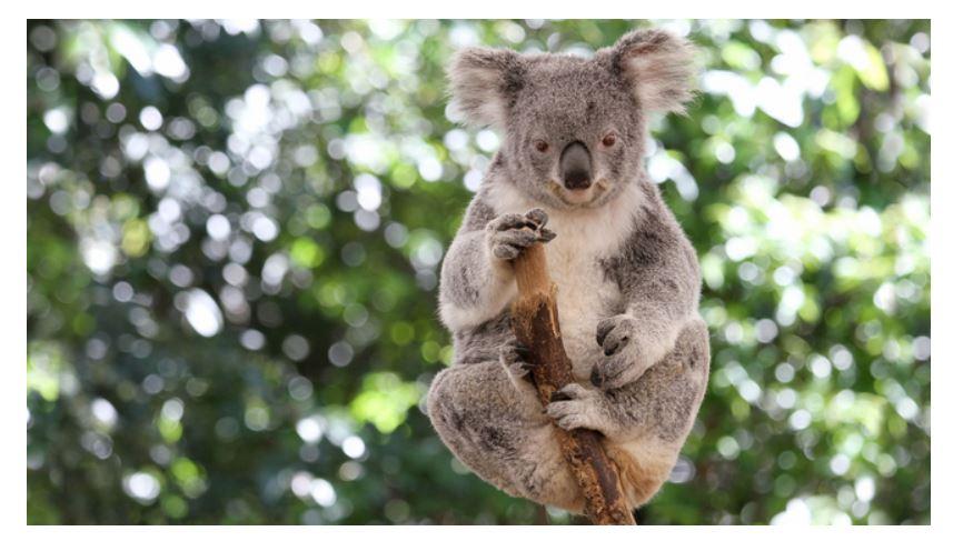 G20ブリスベン・サミットで各国首脳をコアラがおもてなし、観光プロモーションの新たな形 ーオーストラリア・クイーンズランド州