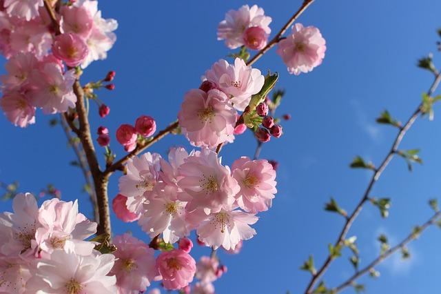 日本各地の桜に赤信号、2016年は最悪の健康状態、長期化すれば枯れる危険も