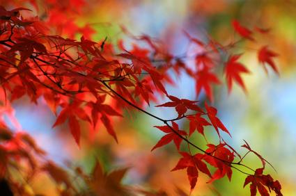 紅葉の見ごろ予測2015、北海道はすでに落葉、京都・嵐山は11月22日頃から