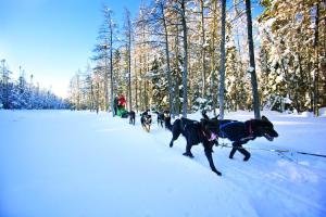 アルゴンキン州立公園で体験できる犬ぞり(写真提供:オンタリオ州観光局)