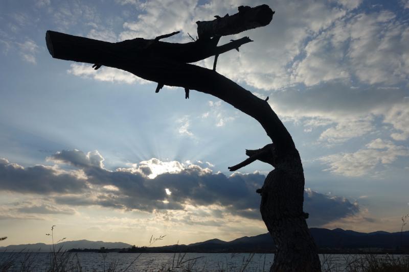 気仙沼岩井崎の「龍の松」。この地域も津波で大きな被害を受けたが、1本の松が龍の姿で生き残った
