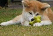 観光案内する「AI秋田犬」が登場、人工知能でユーザーの関心に合わせた情報提供