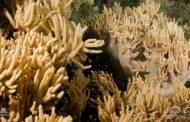 豪州・グレートバリアリーフでサンゴが産卵、白化現象からの回復に期待