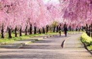 花見の名所で駐車場シェア、軒先パーキングらが福島県喜多方市で、違法駐車削減へ遊休地を活用