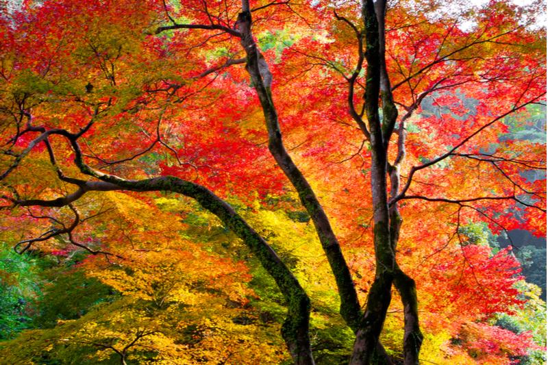 紅葉見ごろ2019、東日本は「やや遅め」の予想、京都・嵐山は11月23日頃から ―ウェザーニューズ