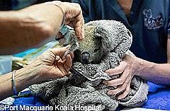 山火事から回復したコアラ、半年ぶりに森に帰宅、オーストラリア政府観光局「復興の象徴に」