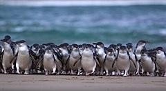 豪州のペンギンパレードを自宅で見学、「ライブペンギンTV」生配信がスタート