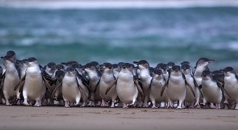 豪州のペンギンパレードを自宅で見学、観光局が「ライブペンギンTV」生配信開始