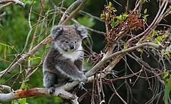 豪州ビクトリア州に新たなエコ観光体験、コアラなど野生動物に遭遇、利益は環境保全事業に還元
